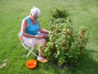 Jeannette -- picking red currants